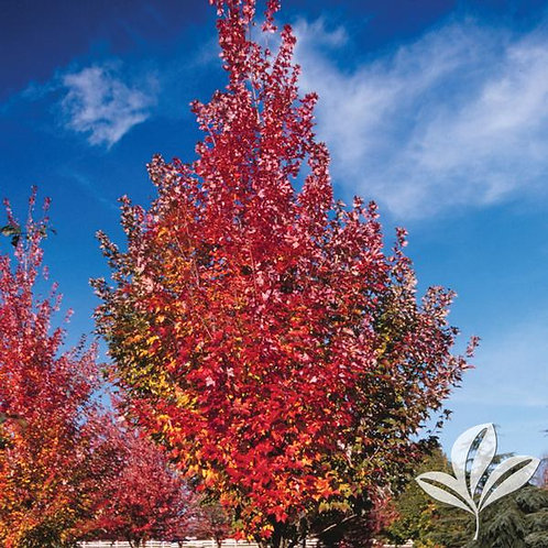 Maple, 'Autumn Blaze®' (multiple sizes)