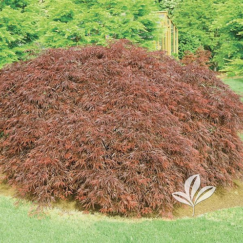 Japanese Maple, (dissectum), 'Orangeola' 24""