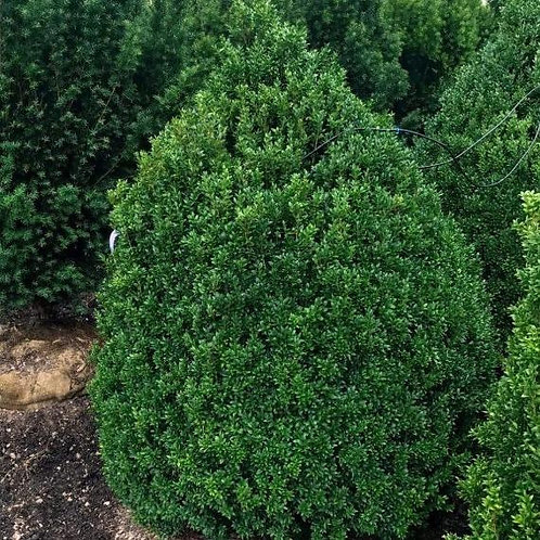 Boxwood, American (multiple sizes)