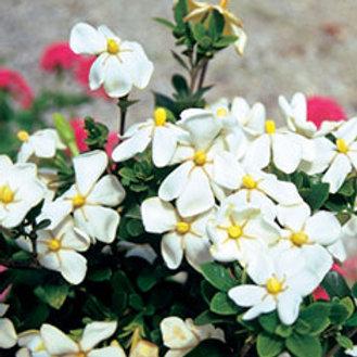 Gardenia, 'Daisy' 3G