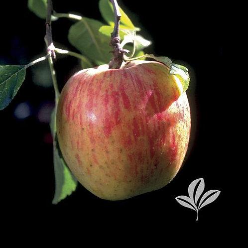 Apple Tree 'Fugi' (multiple sizes)