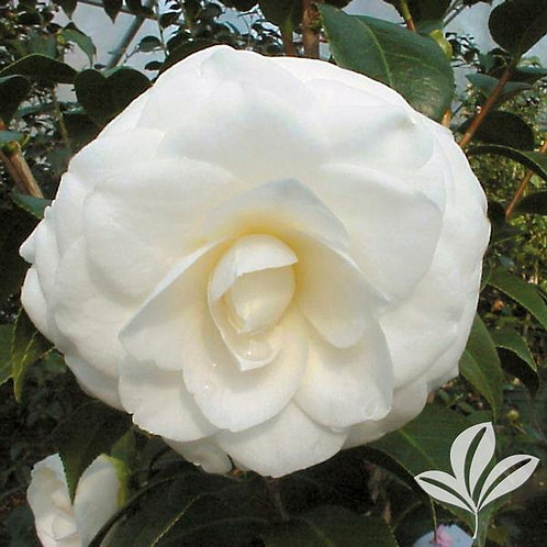 Camellia Japonica, 'White By The Gate' (multiple sizes)