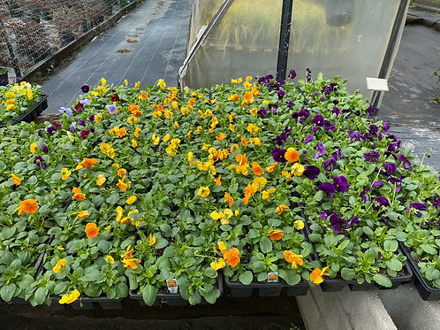 Pansies, Flat of 18 (assorted colors)