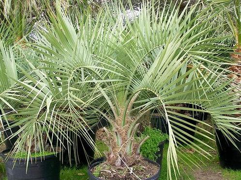 Palm, Pindo 30G