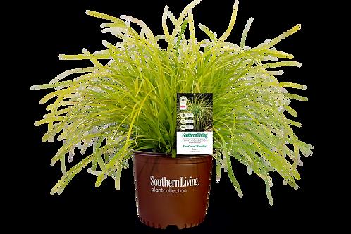 Carex, EverColor® 'Everillo' 1G