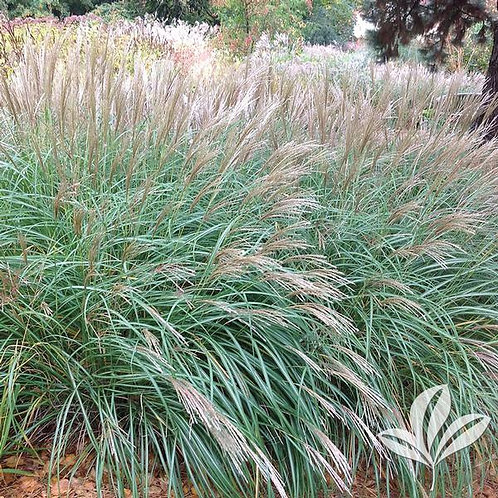 Miscanthus, Little Kitten 3G