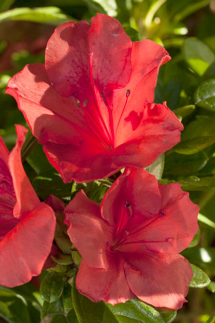 Azalea Encore Series, Autumn Sunset™ 3G