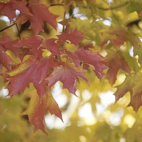 Maple, 'Fall Fiesta™' Sugar 15G