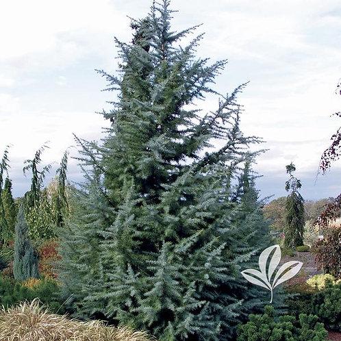 Cedar, Deodar 'Electra Blue' (multiple sizes)