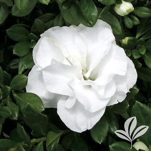 Azalea, Hardy Gardenia 3G