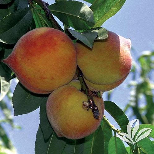 Peach Tree, 'Elberta' 5G