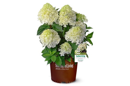 Hydrangea, 'White Wedding®' 3G