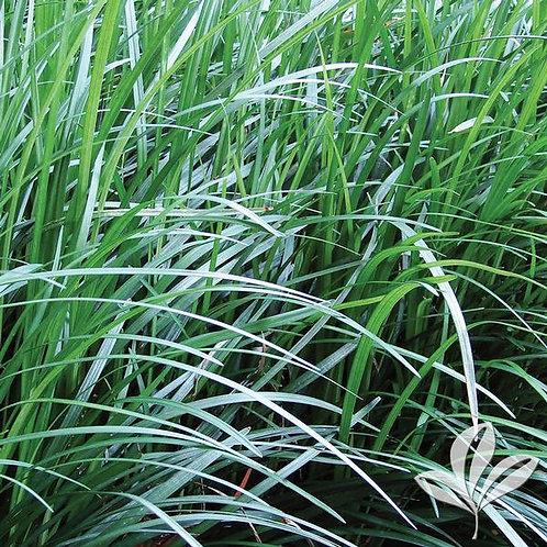 """Mondo Grass 4"""" - Flat of 18"""
