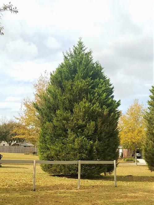 Cypress, Leyland (multiple sizes)