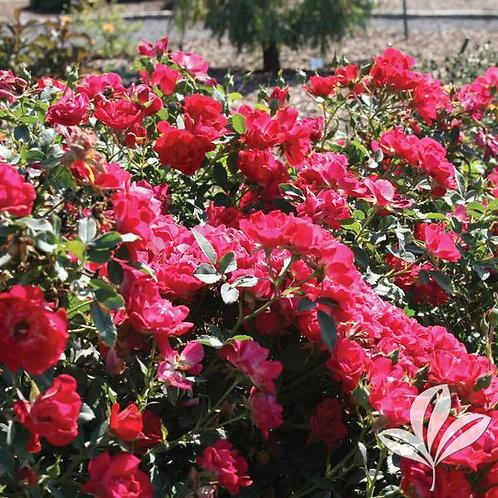 Rose, Drift® Red 3G