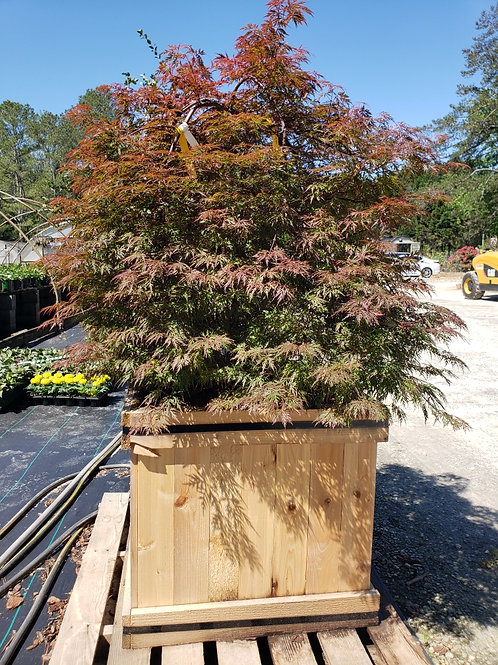 "Japanese Maple, (dissectum), 'Orangeola' 24"" in Cedar Box"