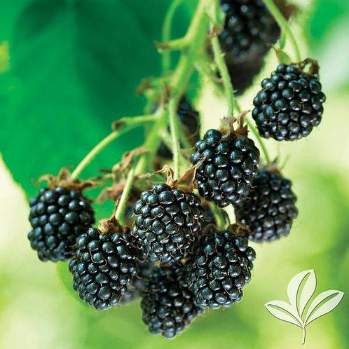Blackberry, 'Natchez' 3G