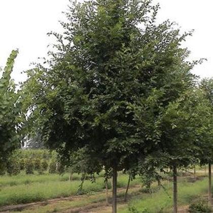 Elm, 'Bosque®' (multiple sizes)