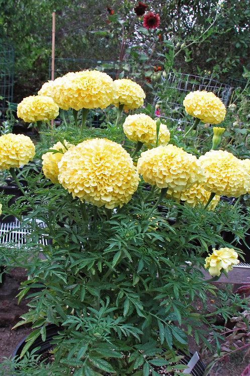 Marigold, Inca Yellow - Flat of 18