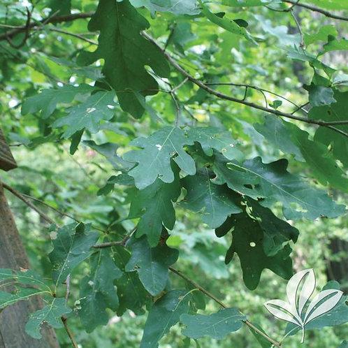 Oak, White (multiple sizes)
