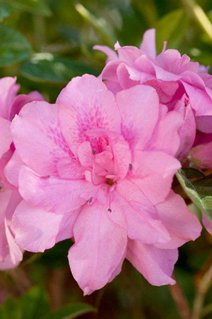 Azalea Encore Series, Autumn Carnation® 3G