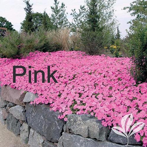 Petunia, Easy Wave Series (choose color) - Flat of 18