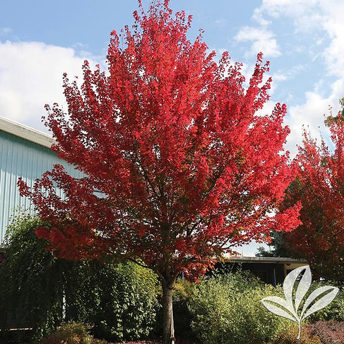 Maple, 'Redpointe®' 3""