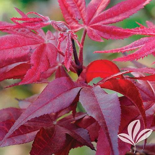 Japanese Maple, 'Hefner's Red' 6'