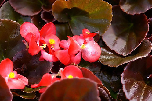 Begonia, Bronze Leaf (choose color) - Flat of 18