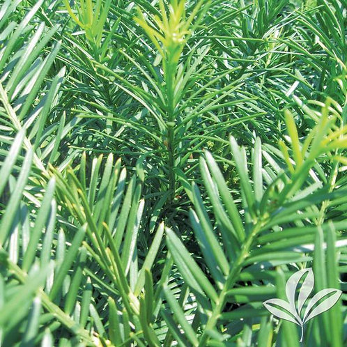Cephalotaxus, 'Duke Gardens' (multiple sizes)
