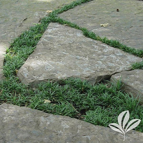 "Mondo Grass, Dwarf  4"" - Flat of 18"