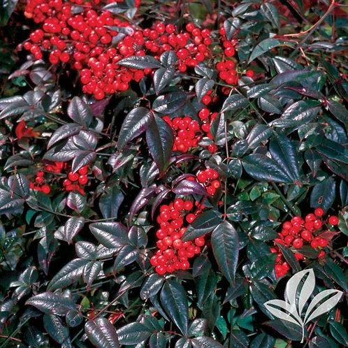 Nandina, 'Harbor Belle™' 3G