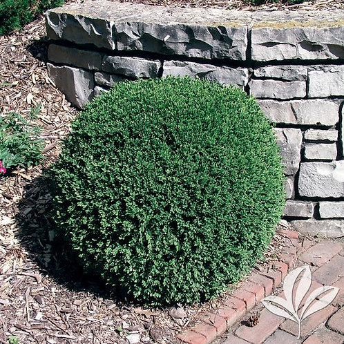 Boxwood, 'Wintergreen' (multiple sizes)
