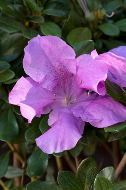 Azalea Encore Series, Autumn Lilac® 3G