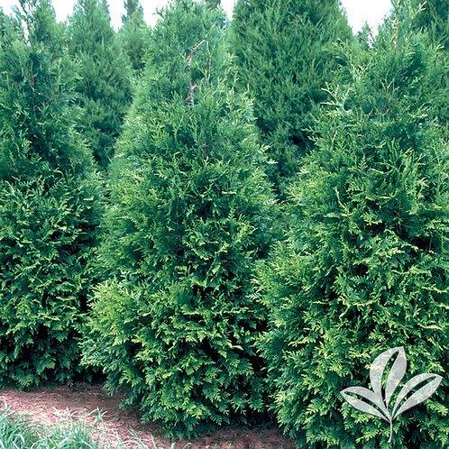 Arborvitae, Green Giant (multiple sizes)