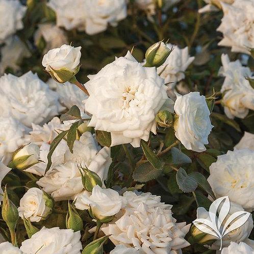 Rose, Drift® White 3G
