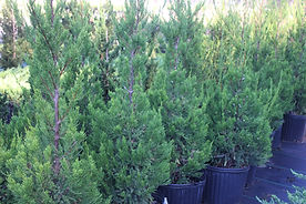 Container Hetzi Junipers