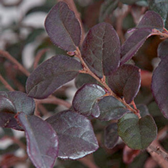 Loropetalum, 'Ruby' 3G