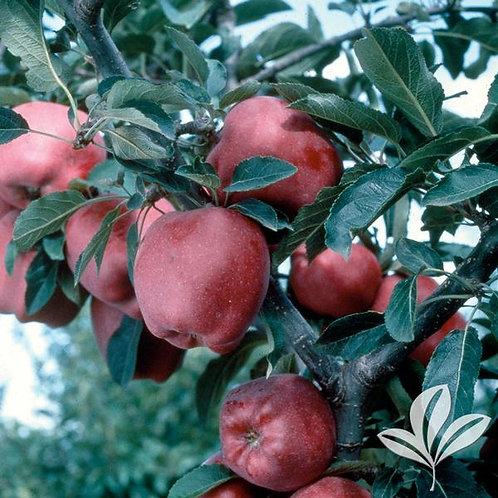 Apple Tree 'Red Delicious' 5G