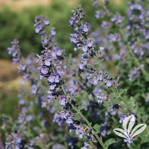 Nepeta racemosa 'Walker's Low' Catmint 1G