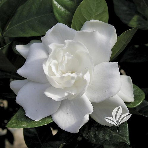 Gardenia, 'August Beauty' 7G
