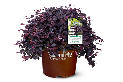 Loropetalum, 'Purple Pixie® ' 3G