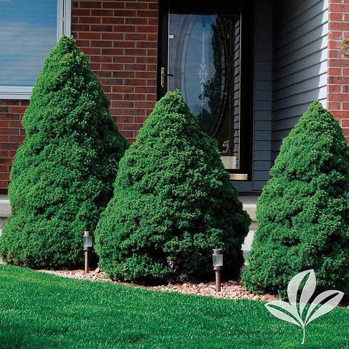 Spruce, Dwarf Alberta (multiple sizes)
