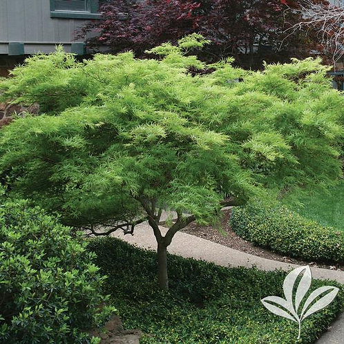 Japanese Maple, (dissectum), 'Viridis' 7G