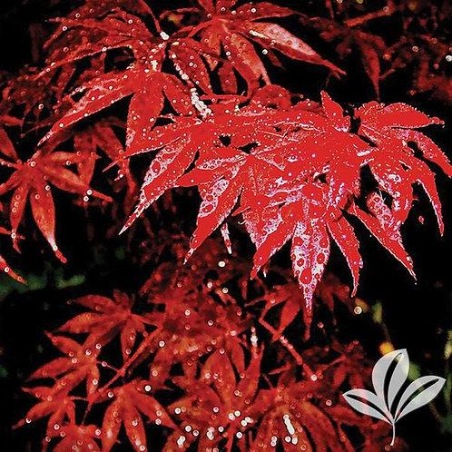 Japanese Maple,, 'Bloodgood' 6'