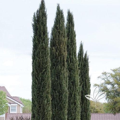 Cypress, Italian 7G