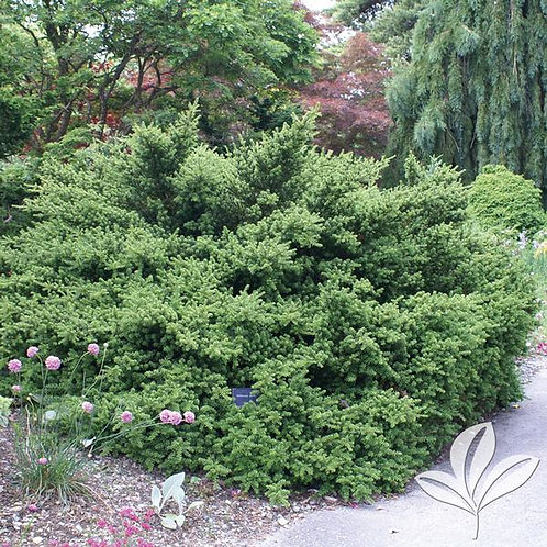 Podocarpus, 'Pringle' (multiple sizes)