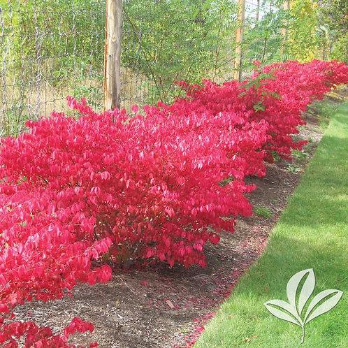 Burning Bush (multiple sizes)