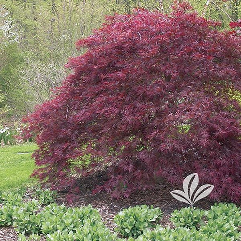 """Japanese Maple, (dissectum), 'Red Dragon' 30"""""""