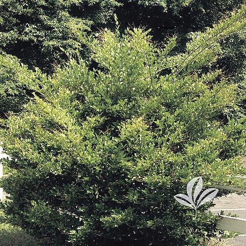 Ligustrum, Recurvifolium 7G